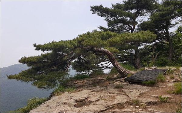 백학봉~상왕봉 능선의 소나무